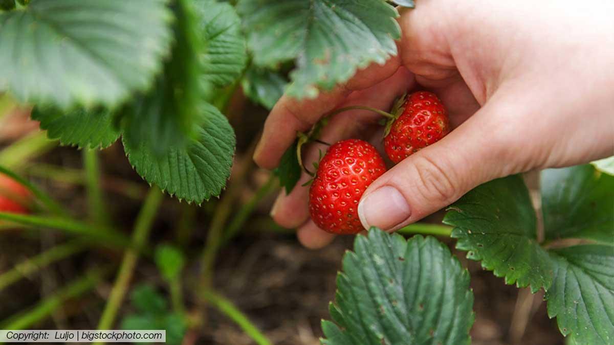Erdbeeren Selber Pflücken Schwandorf